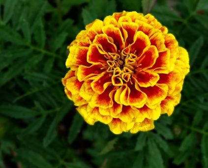 1024px-French_Marigold_-_October_Birthday_Flower_-_Tagetes_patula-600x486