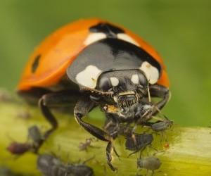 Afidi-rimedi-biologici-coccinella-predatore-naturale-10-e1491151036266